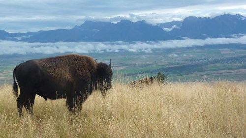 , Bison Range, Sept. 2010 123