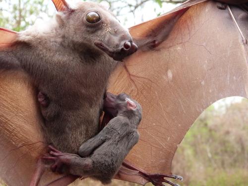 Hypsignathus-monstrosus