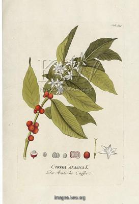 Coffeea arabica, coffee. Joseph Jacob Plenck , Icones Plantarum Medicinal, Vol. 02, 1789, Tab.130, t. 130