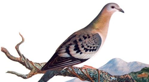 passenger_pigeon_2011